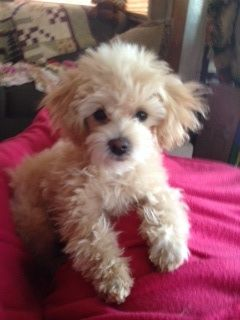 Superb 1000 Images About Maltipoo Puppies On Pinterest Teacup Maltese Short Hairstyles For Black Women Fulllsitofus