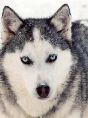 Siberian Husky - check out quality goodies for your dog - visit http://AnimalInstinct.co.uk/?utm_source=pinterest&utm_medium=pin&utm_term=dogs&utm_content=desc&utm_campaign=cutepetpics #Dogs