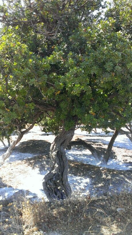 Mastic tree, Chios Greece