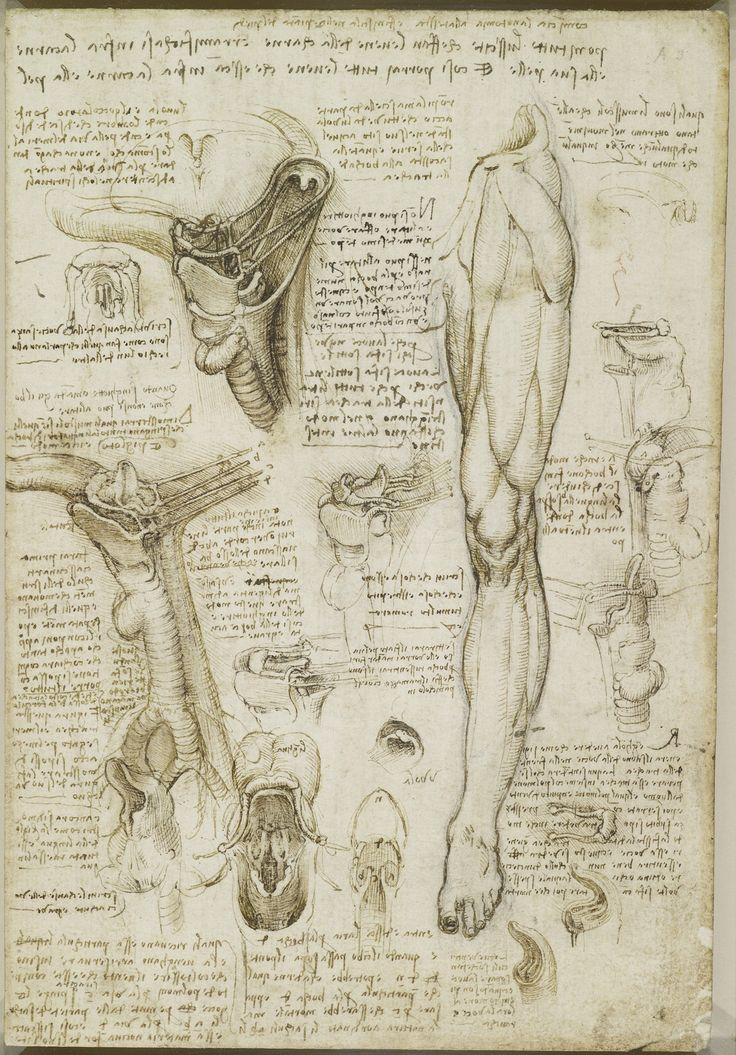 Leonardo da Vinci, 1452-1519, Italian, The bones of the foot, and the muscles of the neck, c.1510-11. Pen and ink with wash over black chalk. Royal Collection Trust, Windsor.