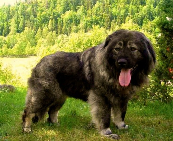 Los perros de esta raza, descienden del famoso Dogo tibetano, que fue llevado a Rusia en los comienzos del siglo XVIII por las tribus barbaras en su migración hacia el Este. Estos al ser cruzados con las distintas razas de pastor ruso dieron como resultado al Ovcharka, desarrollado sobre todo en el Caucaso, y es la variedad de perro de pastor ruso mas extendida,