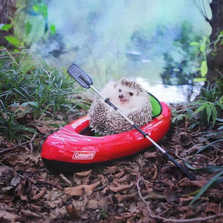 This Little Hedgehog Went 'Camping' And It's The Cutest Thing Ever