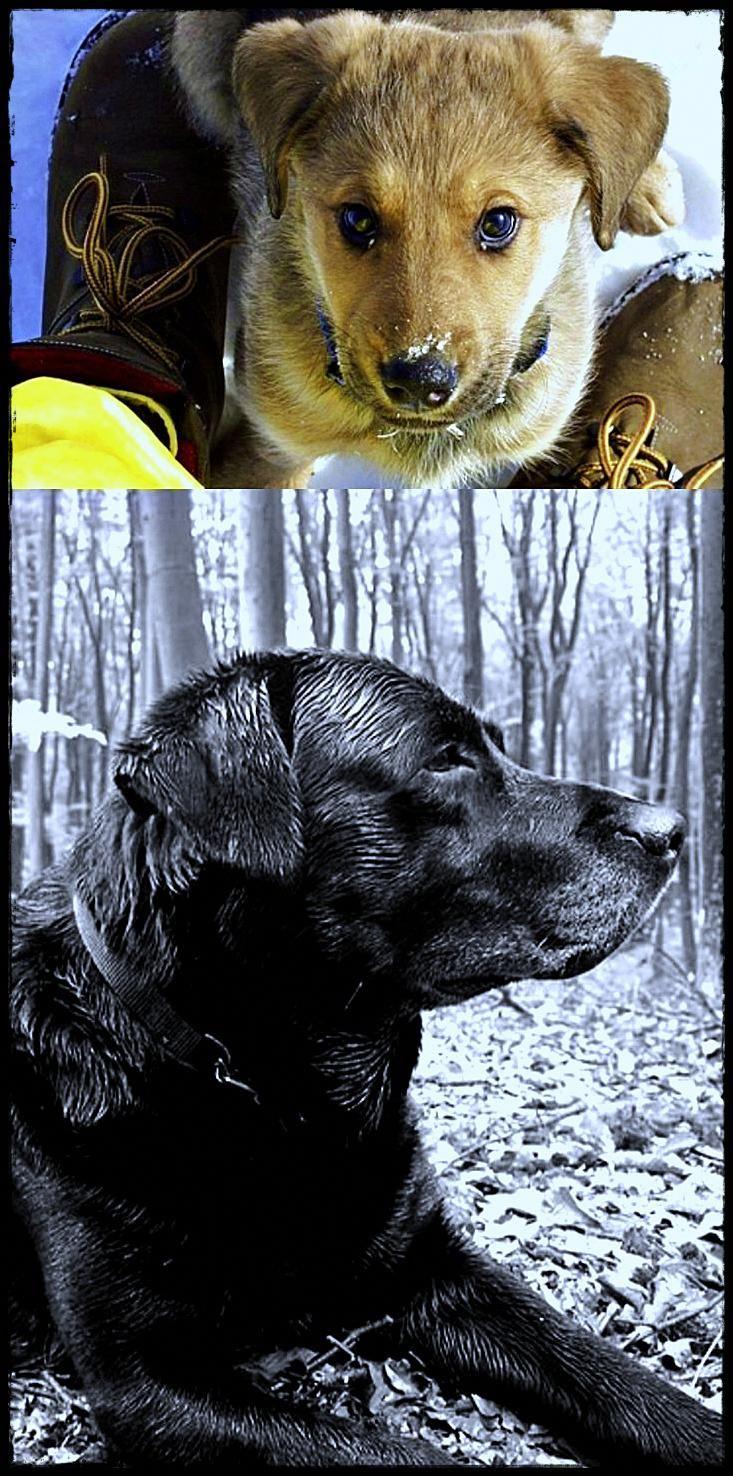 Labrador Essex You Need A Labradordogfood Labradordogcrate