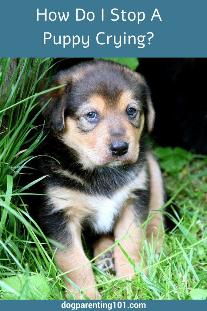 Has Your New Puppy Been Crying Or Whining That Sound Just Breaks