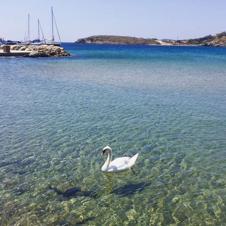 A swan in Batsi on the Island of Andros
