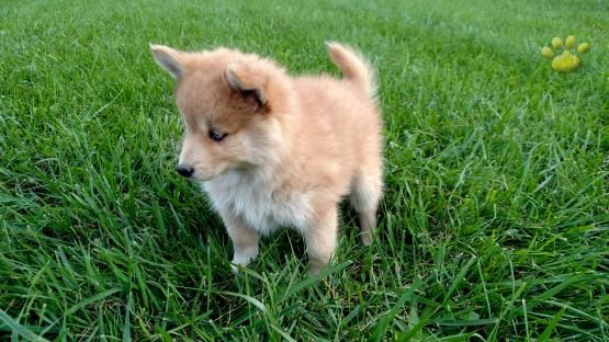 Apollo - Pomsky Puppy for Sale in Goshen, IN   Lancaster Puppies