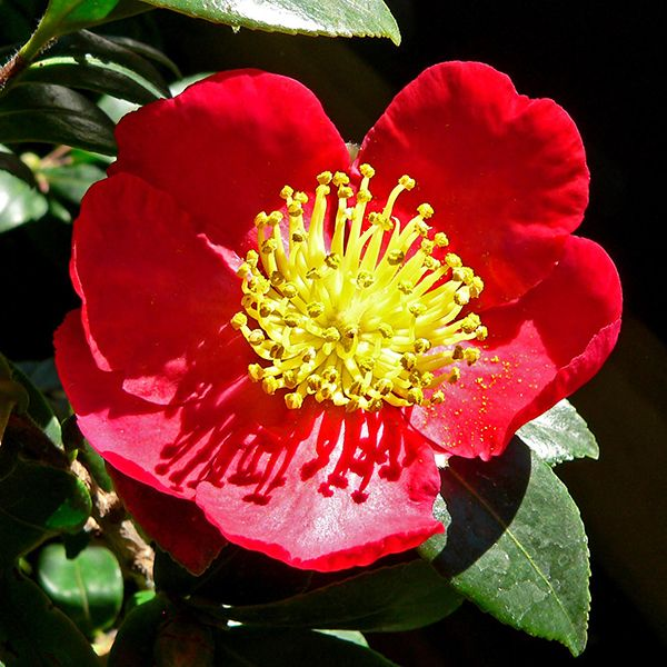 13 best dark red yellow plants for winter 1yourmom images on yuletide camellia camellia sasanqua yuletide produces medium size fiery red single petal blooms with yellow stamen center the bloom is medium about mightylinksfo