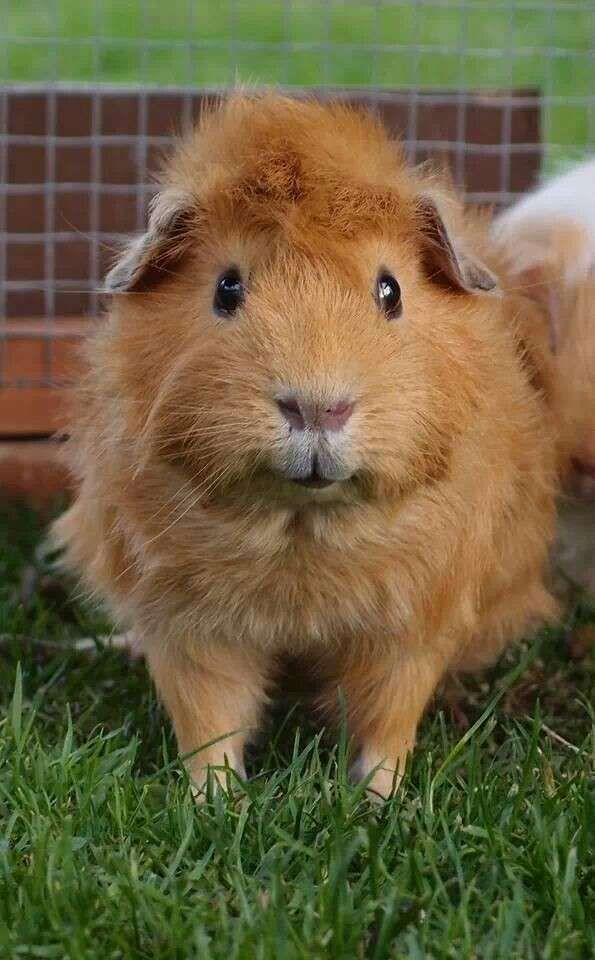 how to tell how old your guinea pig is