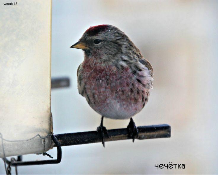 Чечетка - маленькая птичка семейства вьюрковых.