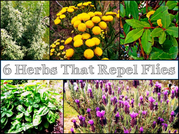 6 Fragrant Herbs That Repel Flies-Rosemary, lavender, basil, bay laurel. citronella grass. These grow in PNW.. Thinking a couple pots with them would be REALLY nice on deck.  Eating outdoors would be fun again!