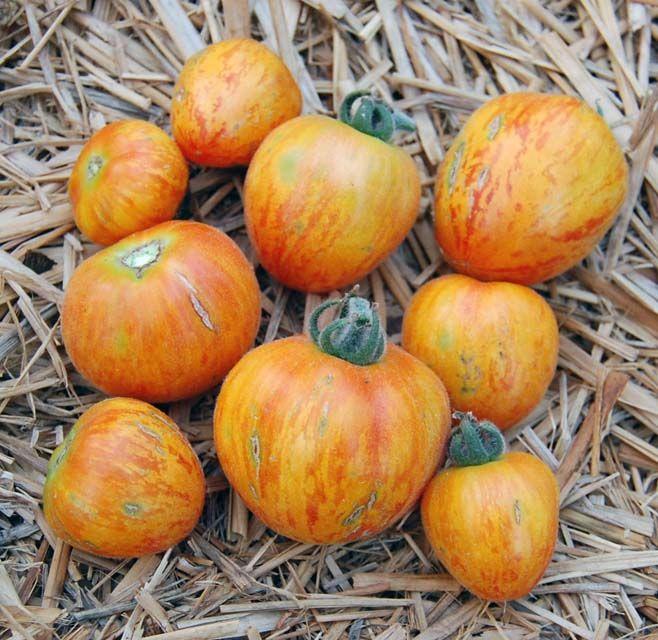 Heirloom Tomato Angora Stripe エアルーム・トマト・アンゴラ・ストライプ