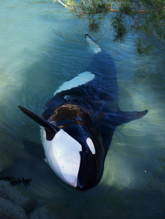 Killer #whale, #orca
