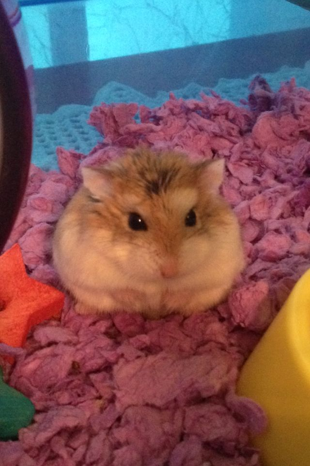 My robo dwarf hamster, Tunechi! He is too cute!! His little arms are in between his fat rolls!