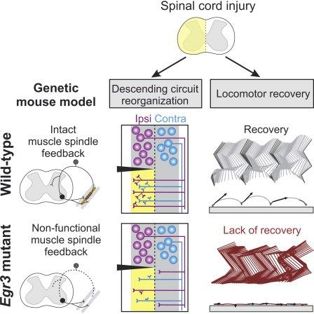 Spinal cord injuries alter motor function by disconnecting neural circuits above and below the lesion, rendering sensory inputs a primary source of direct external drive to neuronal networks caudal to the injury. Here, we studied mice lacking functional muscle spindle feedback to determine the role of this sensory channel in gait control and locomotor recovery after spinal cord injury. High-resolution kinematic analysis of intact mutant mice revealed proficient execution in basic locomotor…