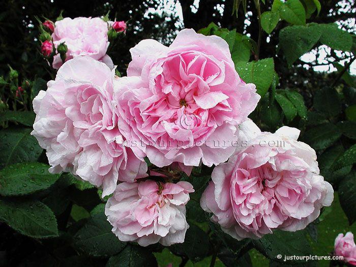 319 best old roses bourbons albas cabbage noisettes centifolias gallicas hybrid perpetual. Black Bedroom Furniture Sets. Home Design Ideas