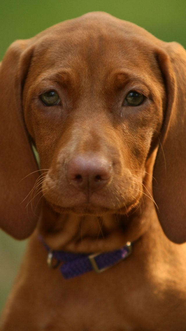 640x1136 Wallpaper dog, muzzle, puppy, eyes