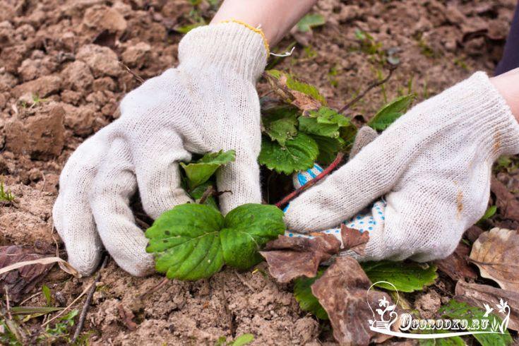 Как ухаживать за клубникой весной – советы и подсказки опытных садоводов
