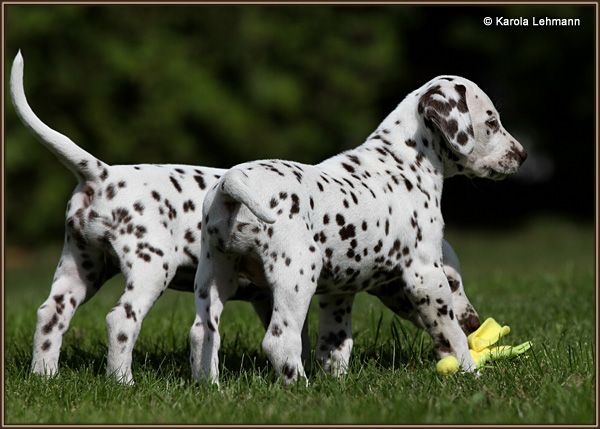 dalmatians six weeks old | Litter 5. week | Christi ORMOND Dalmatians