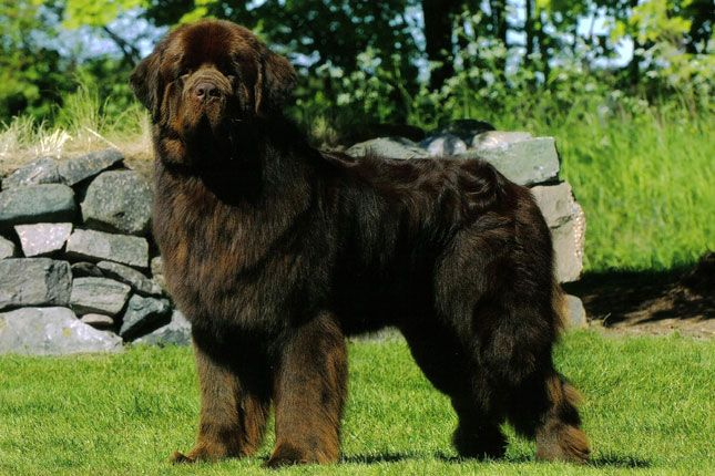 Find Newfoundland Puppies For Sale And Dogs For Adoption From Reputable Newfoundland Dog