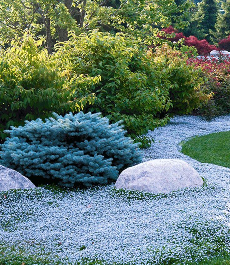 Popular Isotoma Blue Foot online kaufen BALDUR Garten