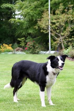 Smooth Coat Border Collie Information. We only ever have smooth coats. less burs on the farm!