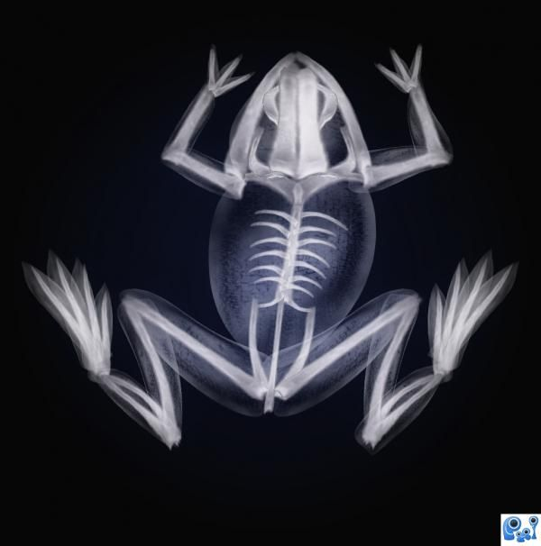 Frog's X-ray - a much better way to view than dissection!