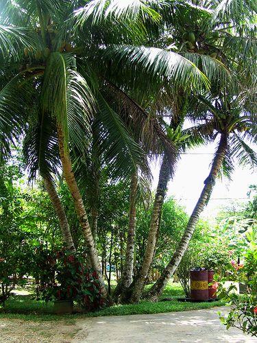 72a0368cb4e4a99543a268228e7dbf72--coconut-u Palm Tree Small Backyard Ideas on small backyard ideas, tropical backyard ideas, football backyard ideas, creative tree stump ideas, beach backyard ideas, island backyard ideas, tree house ideas, dog backyard ideas, palm gardens ideas, sea backyard ideas, blue backyard ideas, bamboo backyard ideas, tropical master bedroom decorating ideas, sand backyard ideas, sunset backyard ideas, desert backyard ideas, succulent planting ideas, green bedroom ideas, tree stump decorating ideas, grass backyard ideas,