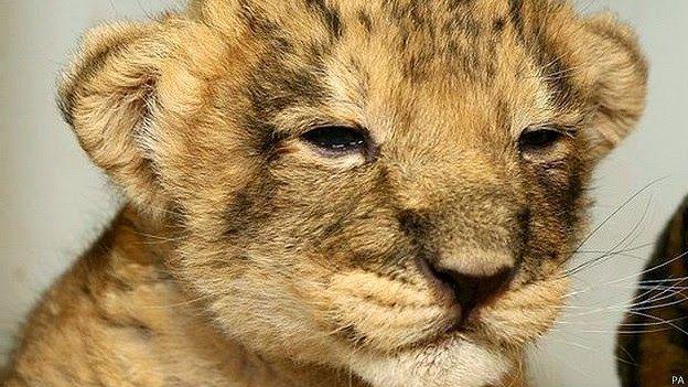 maliaria: Filhote de leão leva guarda florestal até o cadáver de sua mãe