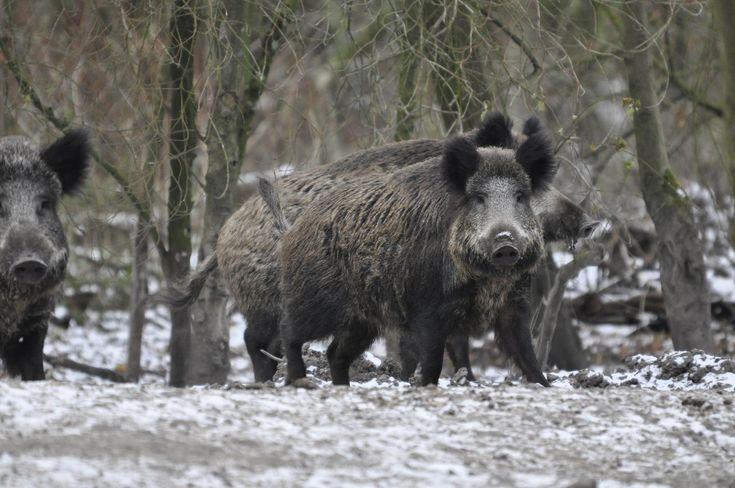 Wilde zwijnen worden wel de nozems van het bos genoemd. De term, die tegenwoordig nauwelijks nog wordt gebruikt, betekent iets als 'vrijgevochten en zelfbewust.' Wilde zwijnen struinen overal rond waar ze voedsel kunnen vinden, maar als ze onraad bespeuren zijn ze zo weer weg. Het Park heeft een populatie van ongeveer vijftig wilde zwijnen.