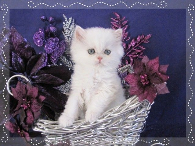 Chinchilla persian kittens for sale seattle