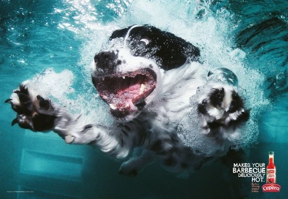 Makes your barbecue deliciously hot.  Extra strong pepper sauce.: Ball, Friends Photos, English Springer Spaniels, Dogs Photography, Underwater Dogs, Dogs Pictures, Seth Casteel, Underwaterdogs, Animal