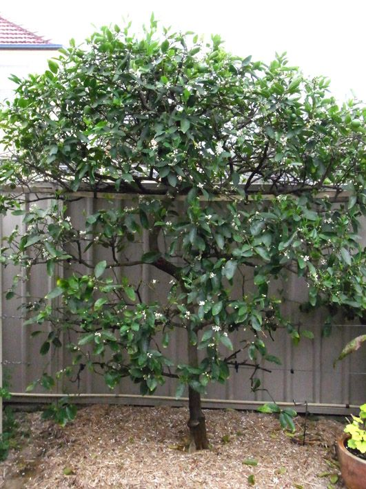 Espaliered tahitian lime tree garden espalier garden - What is lime used for in gardening ...