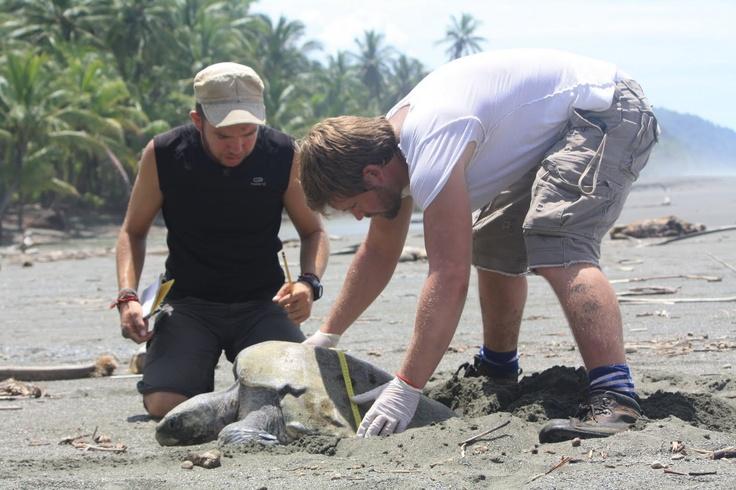 Volunteers working with sea turtles on the Osa Peninsula, Costa Rica