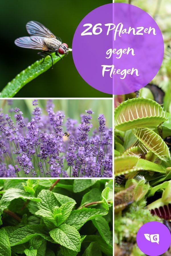 Fliegenabwehr 26 Pflanzen Gegen Fliegen Fur Wohnung Und Balkon Pflanzen Fliegen