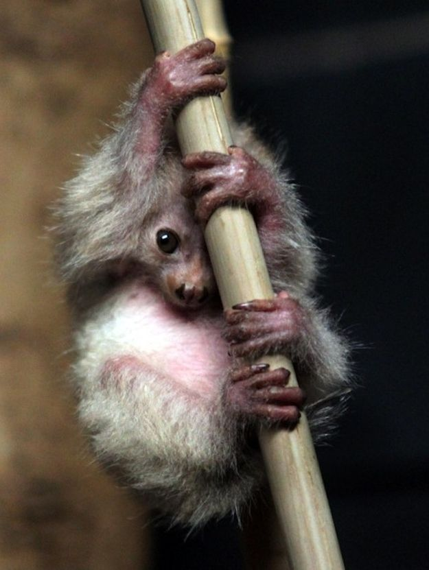 Baby potto - type of loris, lives in Africa. They are nocturnal and live exclusively in trees.