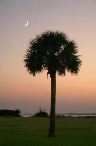 Palmetto in the moonlight.. beautiful SC