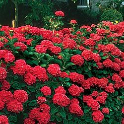Red Hydrangea - sun or part shade, height 4 - 5 feet, spreads 3-4 feet.
