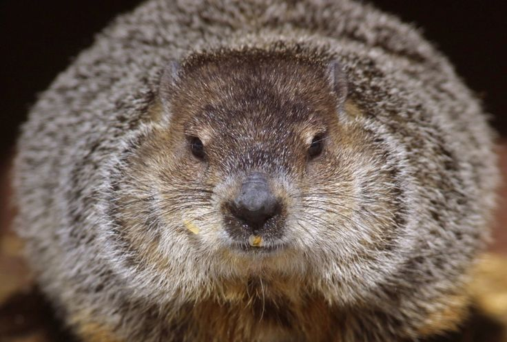 Feb. 2, 1887: Punxsutawney, Pennsylvania, holds its first Groundhog Day celebration