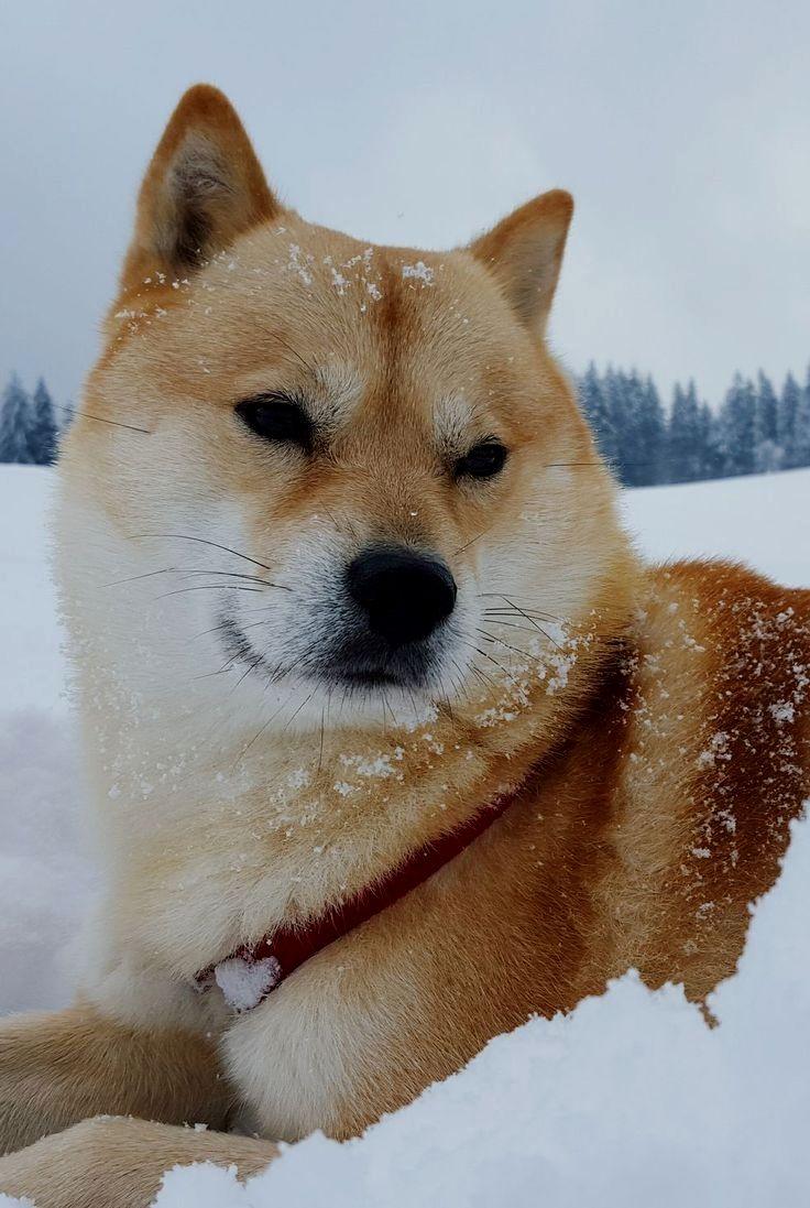 Pin By Dog Is Life On Shiba Inu Healthiest Dog Breeds Shiba Inu Dog Dog Breeds