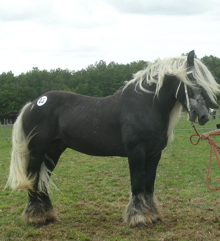The Poitevin or Mulassier, a French draft breed intended for breeding draft mules and for European horsemeat markets. (I think they're too pretty to eat.) They are also apparently gaited.