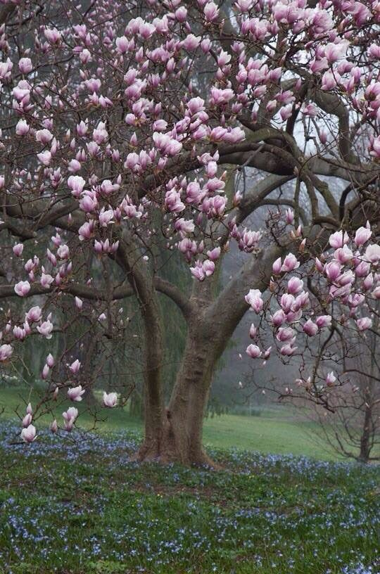 I need a magnolia tree!! ♥♥♥
