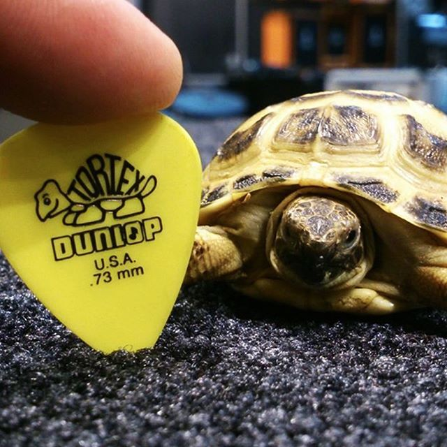 We've got a visitor. #turtle #dunlop #guitarpick #muziker #animalmusic