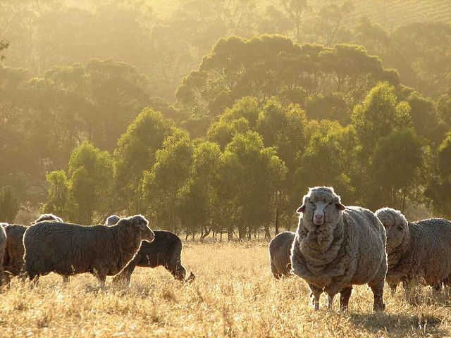 Sheep grazing in the Clare Valley, South Australia by Dave Clarke
