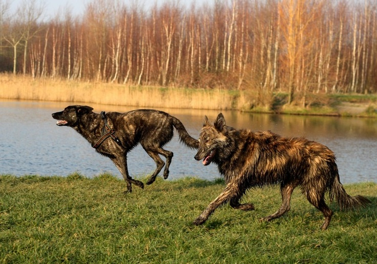 Dutch Shepherds
