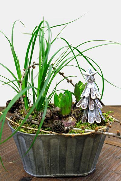 http://www.holmsundsblommor.blogspot.se/2013/12/med-gran-och-lark.html Julgrupp med hyacinter och flasklilja, lärkgrenar och plåtgran.