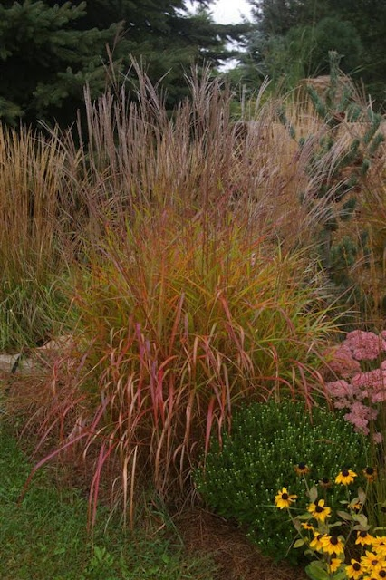 Red Miscanthus grass