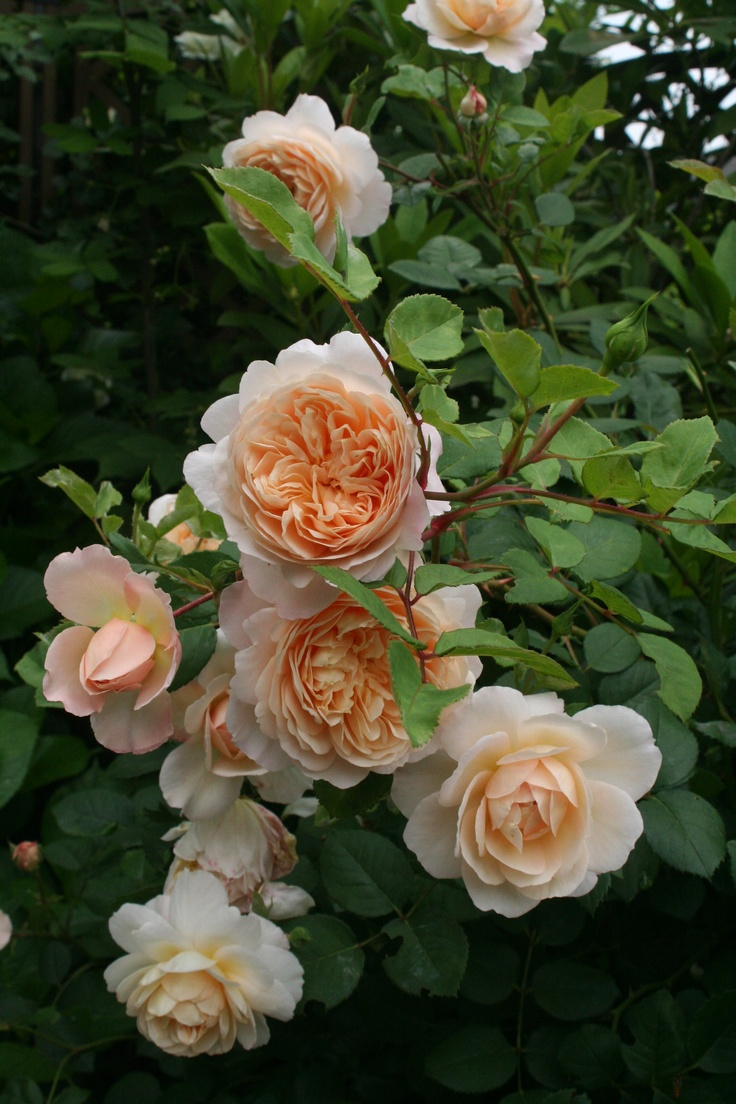 102 best Roses i love the most images on Pinterest   Flowers, Garden roses and Climbing roses