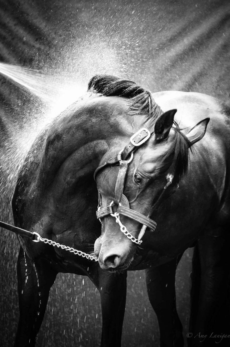 Beautiful photo of Triple Classic Winner Camelot getting a bath@ Coolmore Stud