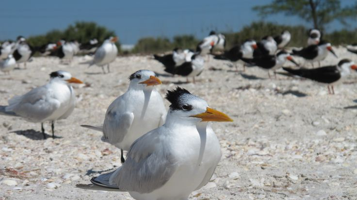 sterna maxima - royal tern