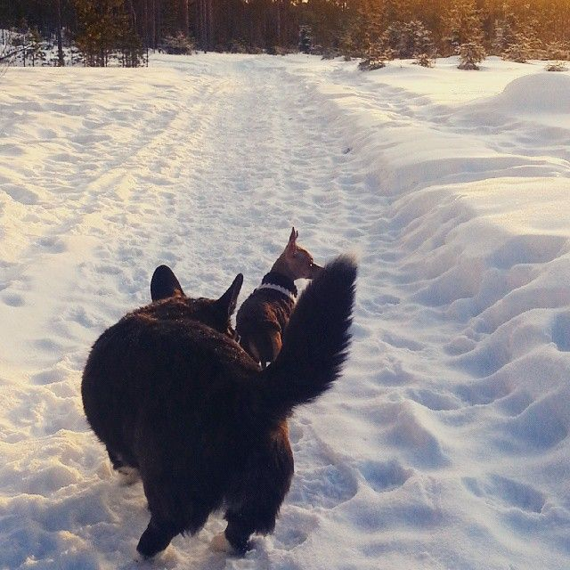 """""""Tyttöjen kanssa lenkillä 13 asteen pakkasessa. Ripeä liikkuminen piti meidät lämpimänä. #lenkki #welshcorgi #koira #dog #hund #toymix #kääpiökoira…"""""""